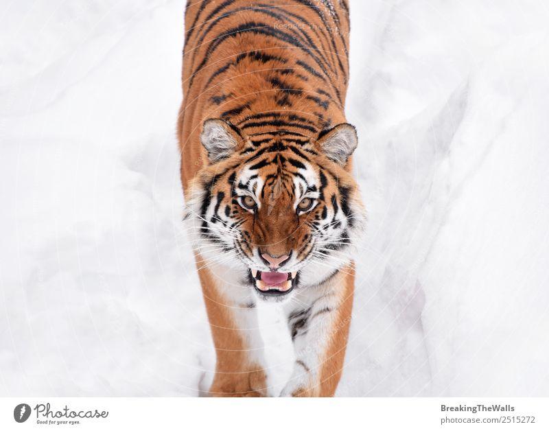 Nahaufnahme eines jungen sibirischen Tigers im weißen Schnee Natur Tier Winter Wetter Wildtier Katze Tiergesicht Zoo 1 beobachten frisch wild amur Schnauze
