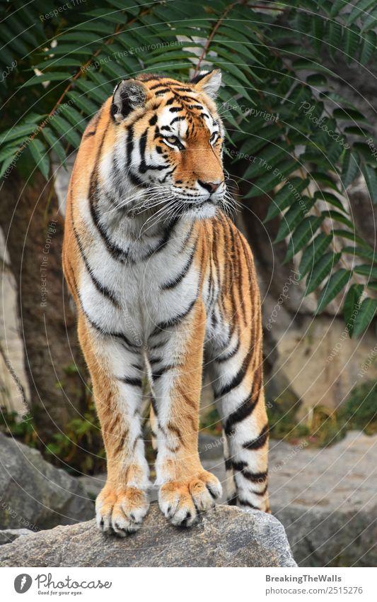 Nahaufnahme des Vorderbilds des jungen sibirischen Tigers in voller Länge Natur Tier Sommer Felsen Wildtier Katze Zoo 1 beobachten stehen niedlich wild