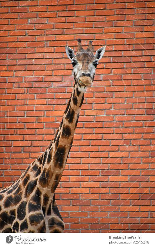 Nahaufnahme des Vorderbilds einer Giraffe über der roten Ziegelwand Natur Tier Wildtier Tiergesicht Zoo 1 lang wild Hintergrund Tierwelt Säugetier Wand