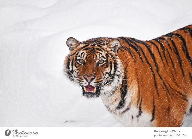 Nahaufnahme eines jungen sibirischen Tigers im Schnee Natur Tier Winter Wetter Wildtier Katze Zoo 1 beobachten frisch wild weiß Schnauze Tierwelt Säugetier
