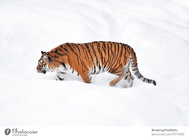 Weiblicher Amur (sibirischer) Tiger geht im frischen weißen Schnee spazieren. Natur Tier Winter Wetter Eis Frost Wildtier Katze Zoo 1 beobachten stehen wild