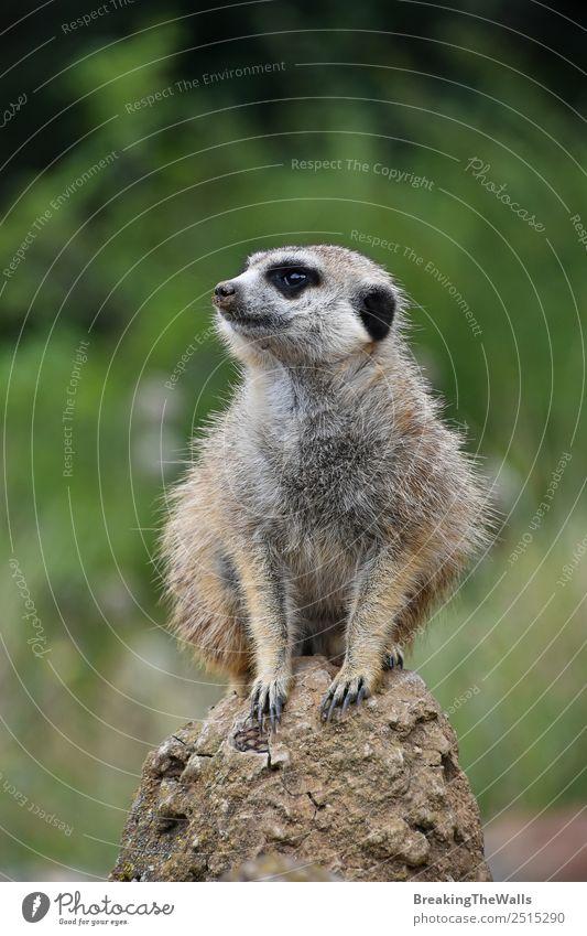 Nahaufnahme eines Erdmännchens, das auf einem Felsen sitzt. Natur Tier Wildtier Tiergesicht Zoo 1 Stein beobachten klein niedlich grün Seite Tierwelt Afrika