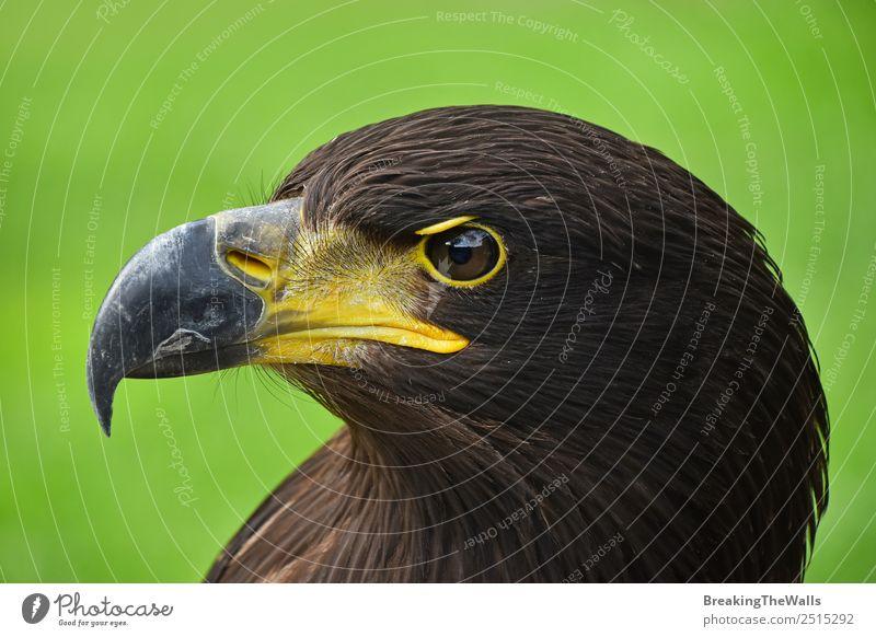 Nahaufnahme des Profilporträts eines Steinadlers auf Grün Natur Tier Gras Wildtier Vogel Tiergesicht Zoo 1 beobachten dunkel wild braun grün Wachsamkeit Adler