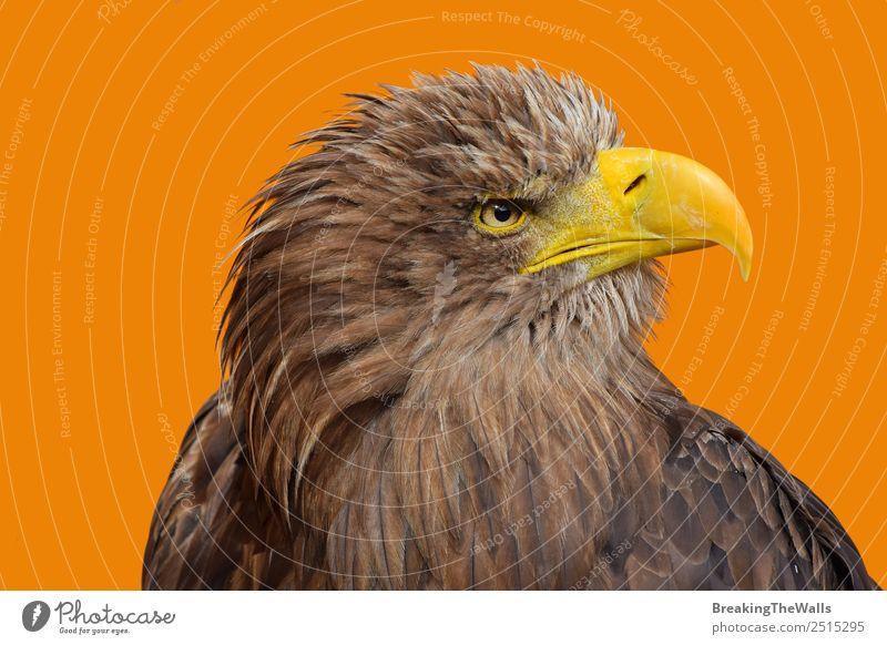 Nahaufnahme des Porträts eines Seeadlers mit weißem Schwanz. Natur Tier Wildtier Vogel Tiergesicht Zoo 1 beobachten groß wild braun gelb Wachsamkeit Adler