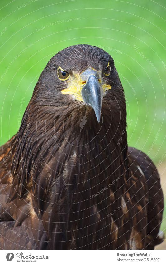 Nahaufnahme des Vorderbilds eines Steinadlers mit Blick auf die Kamera Natur Tier Sommer Gras Wildtier Vogel Tiergesicht Zoo 1 beobachten dunkel wild braun grün
