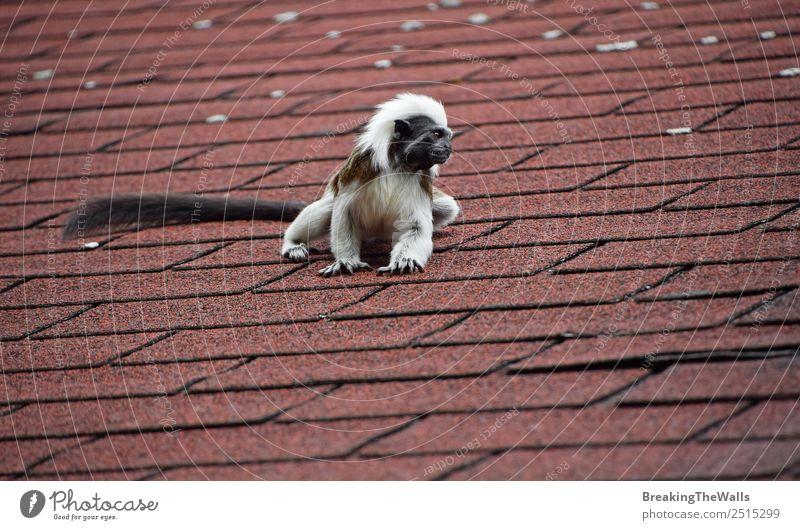 Nahaufnahme eines kleinen Baumwoll-Tamarin-Affen auf dem Dach Tier Wildtier Zoo 1 sitzen niedlich schwarz weiß Baumwolle Top Kamm Primas Tierwelt Saguinus