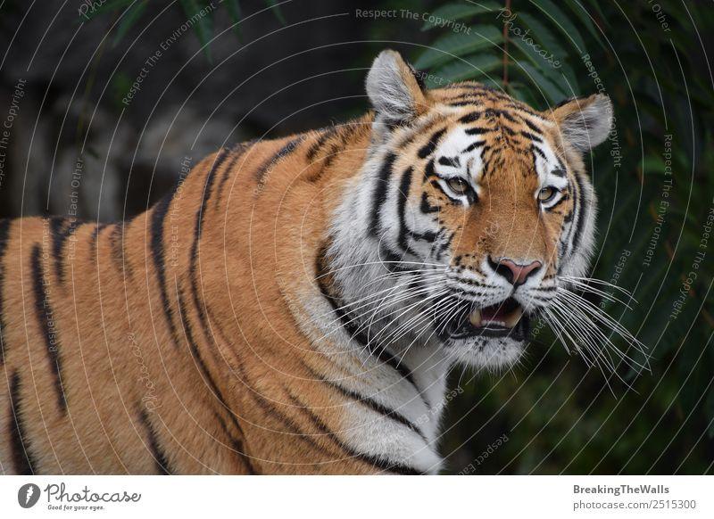 Nahaufnahme eines jungen sibirischen Tigers schön Natur Tier Baum Wald Wildtier Katze Tiergesicht Zoo 1 wild grün Wachsamkeit altaica Schnauze Tierwelt Raubtier