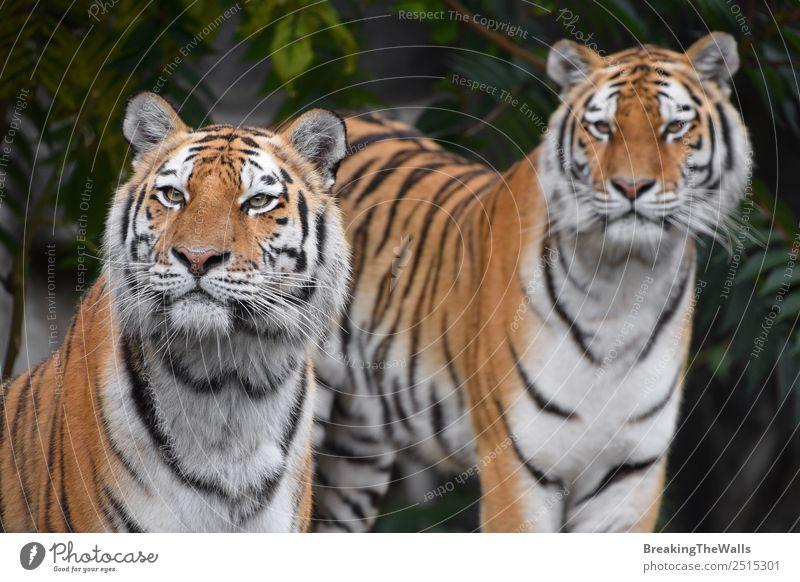 Nahaufnahme von zwei sibirischen Tigern, die in die Kamera schauen. Natur Tier Sommer Wald Wildtier Katze Tiergesicht Zoo 2 wild grün Panthera Tigris altaica