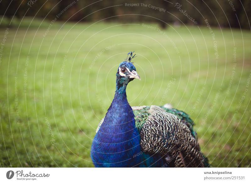 l'année dernière Umwelt Natur Tier Park Wiese Wildtier Vogel Flügel Pfau Feder 1 beobachten natürlich blau Stolz elegant Farbfoto Gedeckte Farben Außenaufnahme