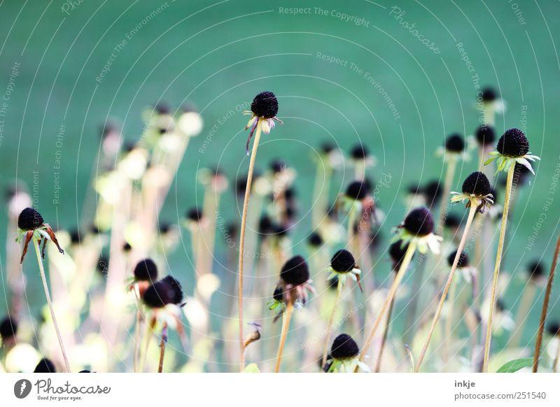wenn die Blütenblätter fallen.. Natur alt grün schön Pflanze Blume schwarz kalt Herbst Garten Stimmung Wachstum natürlich Wandel & Veränderung Vergänglichkeit