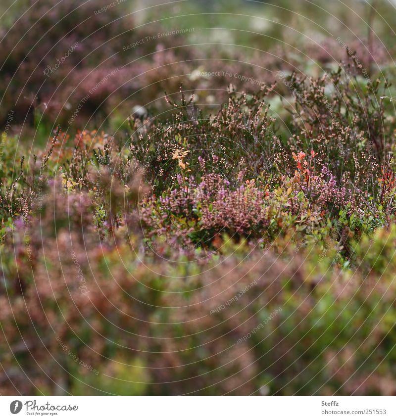 Heidestimmung Moos Calluna Calluna Vulgaris nordisch heimisch Bergheide Herbstfärbung verblüht Gedeckte Farben Herbststimmung Herbstgefühle Wildpflanzen Blühend