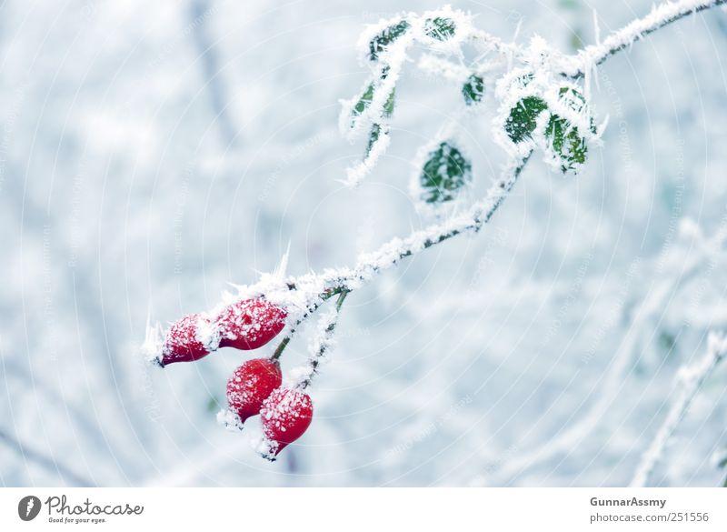 Eisbeeren Natur blau grün weiß Pflanze rot Winter kalt Eis frisch ästhetisch Frost