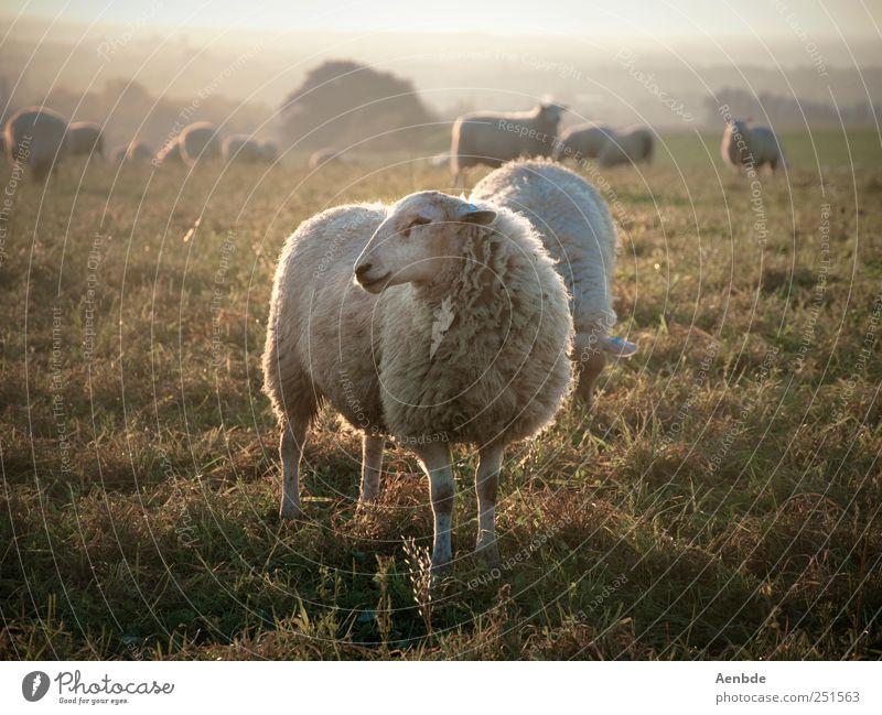 Schaf müsste man sein... Natur Landschaft Wiese Tier Nutztier Herde Fressen Warmherzigkeit friedlich Gedeckte Farben Außenaufnahme Abend Licht Sonnenlicht