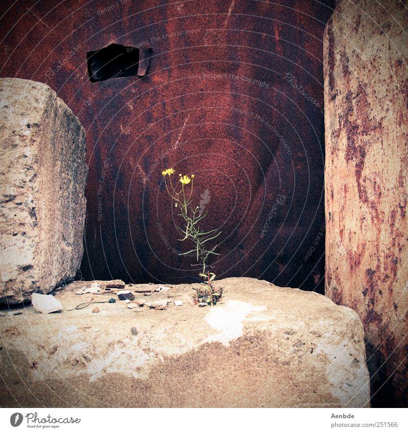 Das Einsiedlerblümlein Pflanze Blume Rost Stein Einsamkeit alt Farbfoto Außenaufnahme Tag