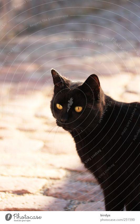 Freigeist Haustier Katze 1 Tier glänzend leuchten Blick ästhetisch elegant frei gelb schwarz Tierliebe Neugier Interesse Freundschaft Katzenauge schwarzes Fell