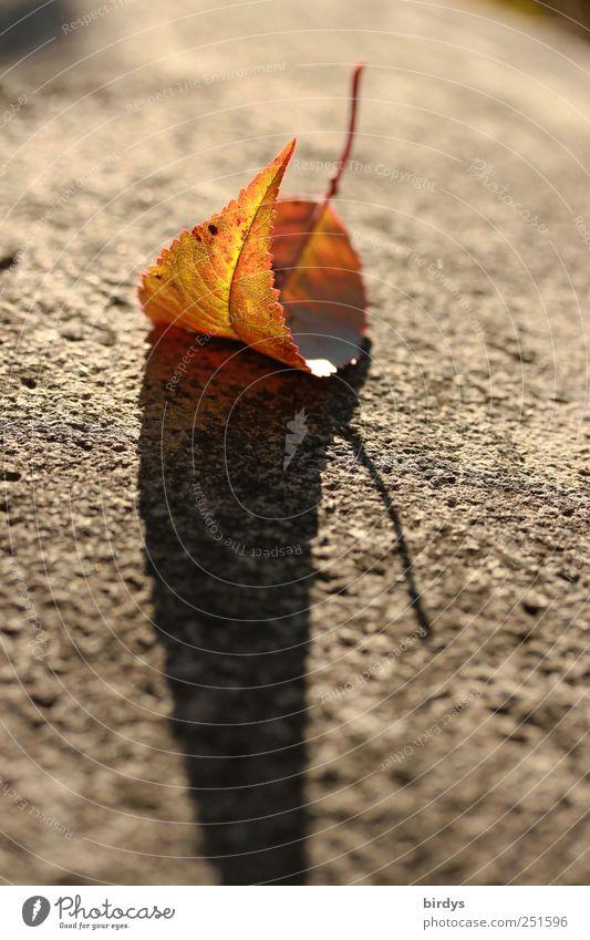 Herbstimpression Schönes Wetter Blatt verblüht ästhetisch schön Einsamkeit Natur Wandel & Veränderung Schatten buntes Blatt 1 gekrümmt Stengel Herbstfärbung