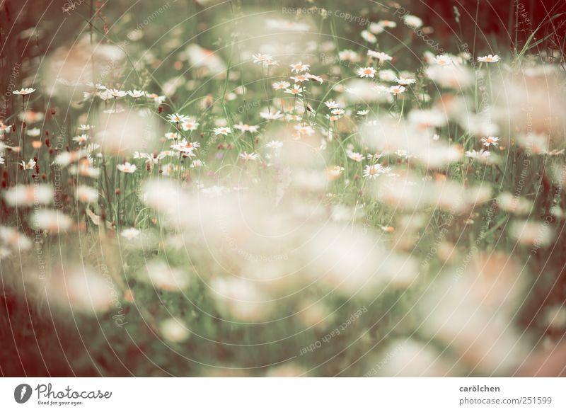 Wiese a la carölchen Natur grün Blume Wiese Umwelt Gras braun natürlich ökologisch Wiesenblume