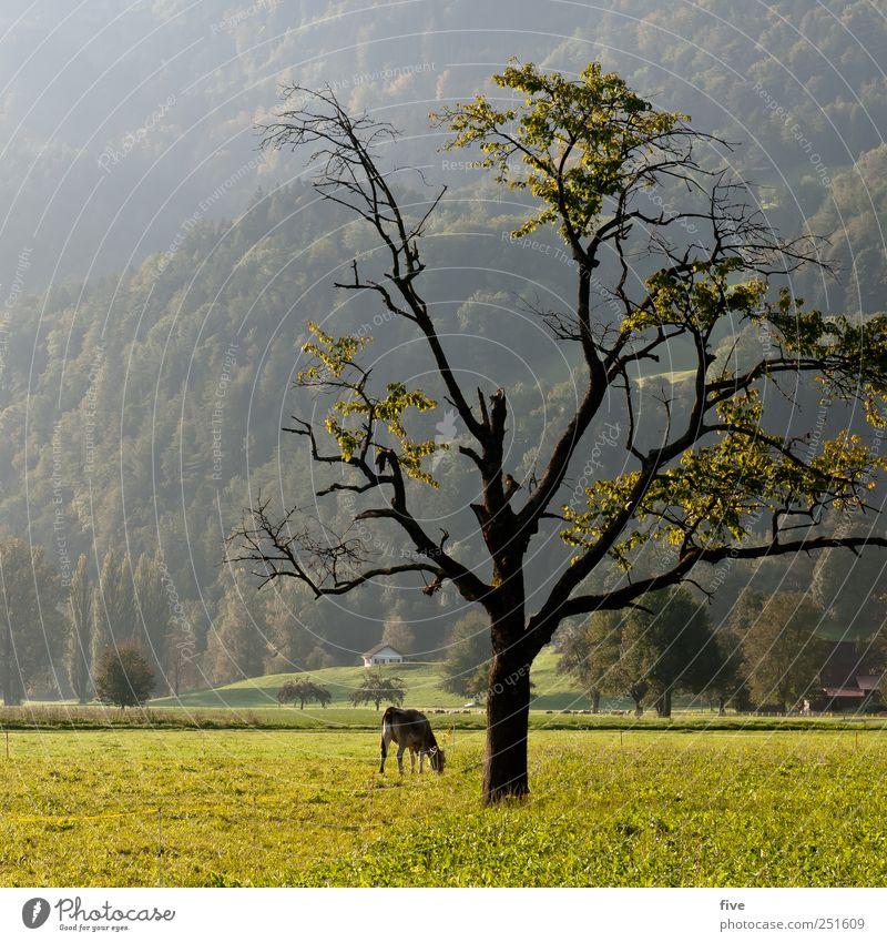 zerbrechlich Umwelt Natur Landschaft Herbst Schönes Wetter Pflanze Baum Gras Blatt Wiese Feld Hügel Kuh alt groß Gefühle Stimmung Ast Farbfoto Außenaufnahme