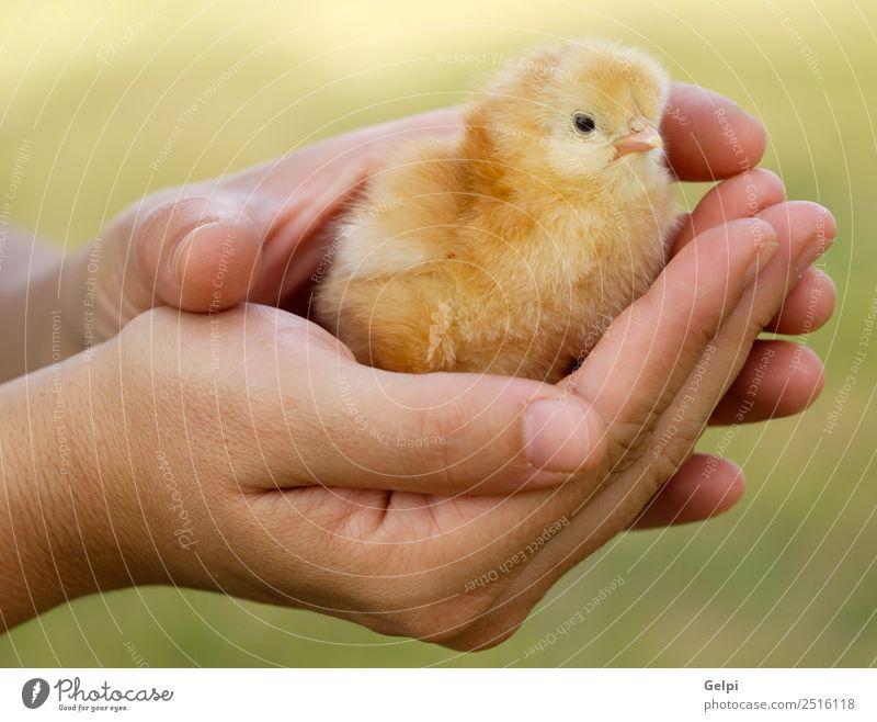 kleines Huhn Leben Ostern Baby Arme Hand Finger Tier Haustier Vogel neu niedlich wild weich gelb jung Hähnchen Ei Federvieh Feiertag Bauernhof Handfläche Küken