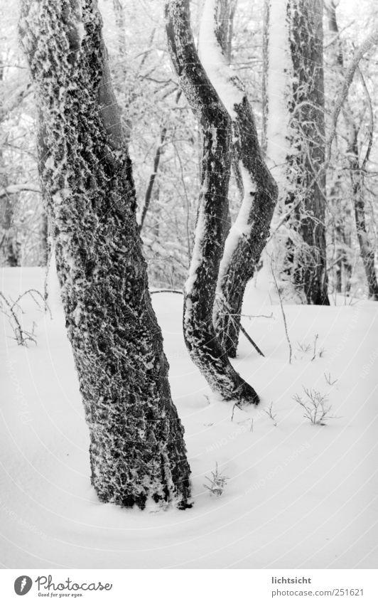 Eiszeit Natur Landschaft Winter Klima Wetter Frost Schnee Baum Wald kalt gefroren Baumstamm Raureif Wetterumschwung Geäst Tiefschnee Schwarzweißfoto
