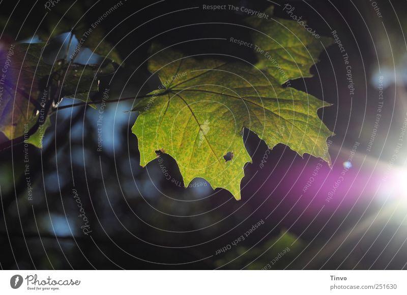 Herbstabend Natur Pflanze Sonne Sonnenlicht Schönes Wetter Blatt Stimmung ruhig Traurigkeit Trauer Wandel & Veränderung Ahornblatt Jahreszeiten Abenddämmerung