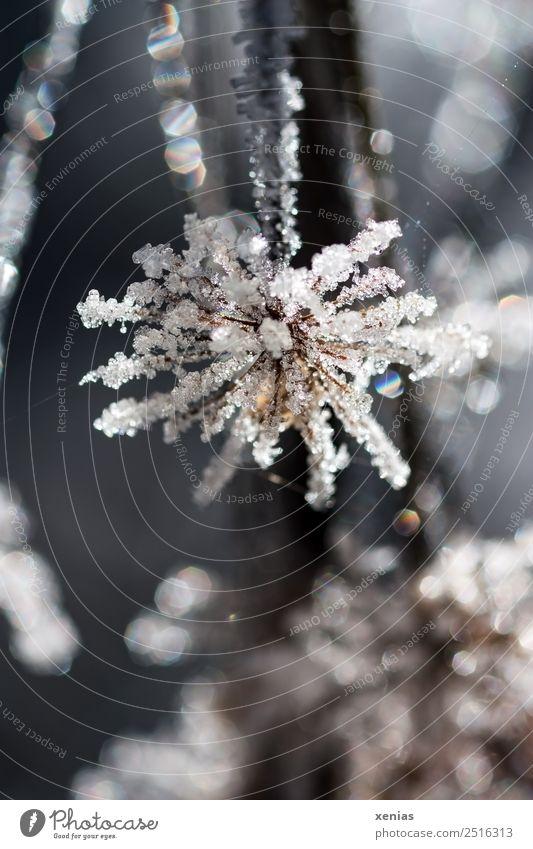 Makroaufnahme: Eisblume in gedeckten Farben im Gegenlicht Blume Winter Frost Pflanze frieren kalt braun weiß gefroren Gedeckte Farben Außenaufnahme Nahaufnahme