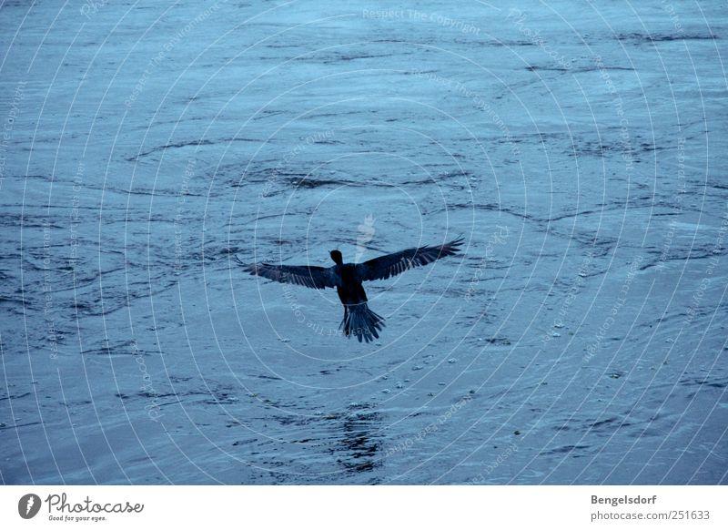 Wenn ich ein Vöglein wär´... Wasser Wellen Tier Vogel Flügel 1 ruhig Freiheit Ferne fliegen Schweben Feder blau Ente Gedeckte Farben Kontrast Vogelperspektive