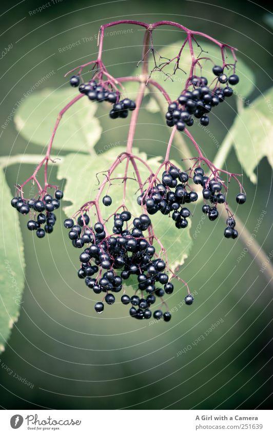 and then eaten Natur Pflanze Herbst Sträucher Blatt Nutzpflanze Wildpflanze Holunderbusch Holunderbeeren hängen tragen einfach Gesundheit glänzend grün schwarz
