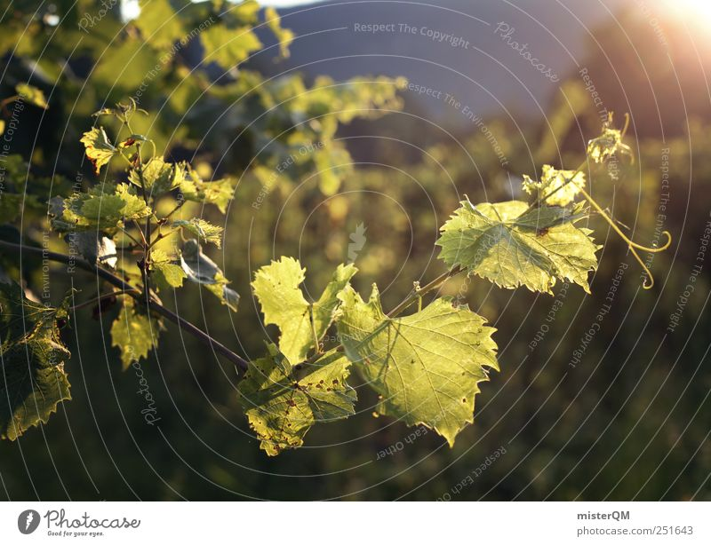 Der Sonne entgegen. Natur grün Sommer Umwelt Wachstum Wein Landwirtschaft Alkohol Weinlese Weinberg züchten Italienisch Weinbau abstrakt