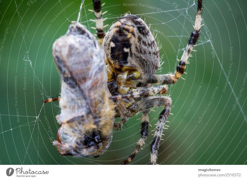 Gemeine Gartenspinne (Araneus diadematus) beim Fressen einer Wespe Tier Spinnentier araneus diadematus Hintergrund Biene braun Wanze schließen Nahaufnahme Farbe