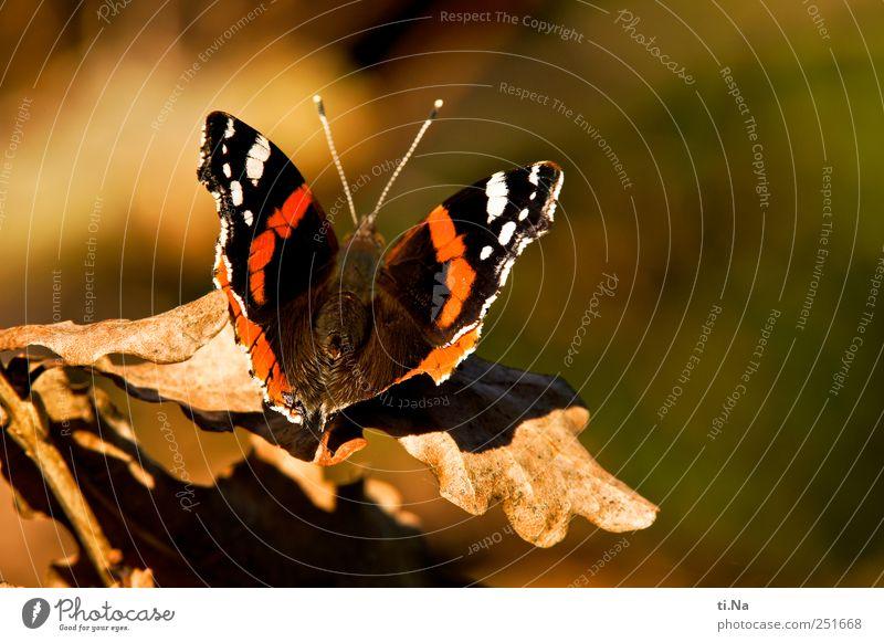 Jawohl, Herr Admiral! Umwelt Natur Pflanze Tier Blatt Park Wiese Wildtier Schmetterling Flügel 1 warten ästhetisch elegant schön braun gelb gold grün rot