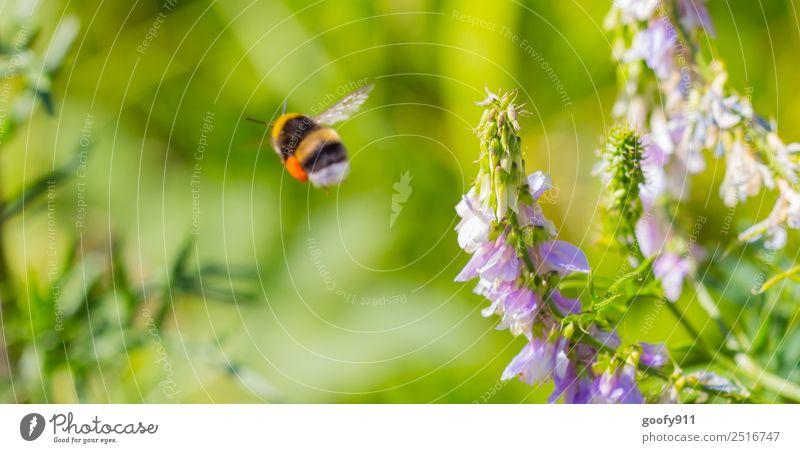 Weiterflug Ausflug Sommer Umwelt Natur Landschaft Sonnenlicht Frühling Schönes Wetter Blume Blüte Garten Park Wiese Tier Nutztier Wildtier Flügel Fell Hummel 1