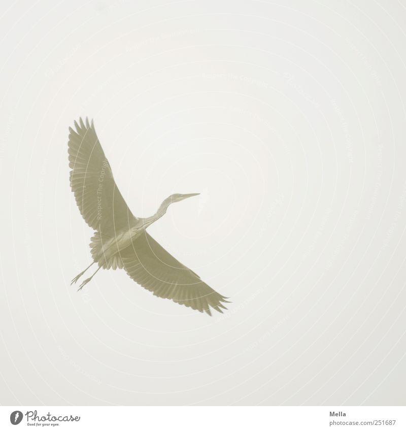 Vogelfrei Umwelt Natur Tier Luft Nebel Flügel Reiher Graureiher Feder gefiedert 1 fliegen ästhetisch hell natürlich grau Freiheit Farbfoto Außenaufnahme