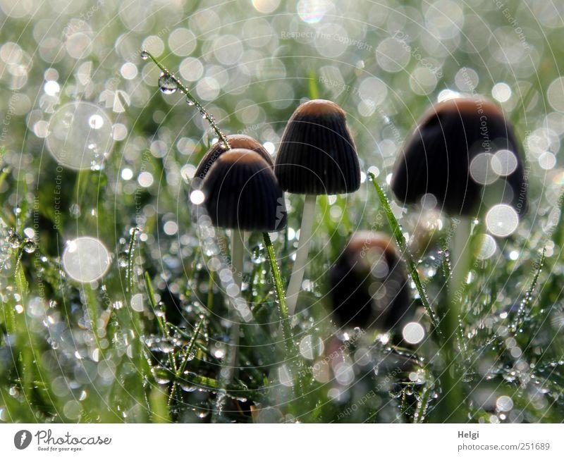 Glitzerwelt... Umwelt Natur Pflanze Wassertropfen Herbst Schönes Wetter Nebel Gras Grünpflanze Wildpflanze Pilz Garten Wiese glänzend leuchten stehen Wachstum