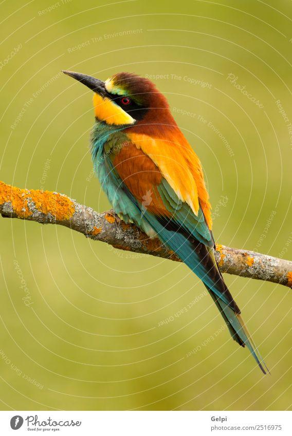 bunter Vogel exotisch schön Freiheit Natur Tier Biene glänzend füttern hell wild blau gelb grün rot weiß Farbe Tierwelt Bienenfresser Apiaster farbenfroh