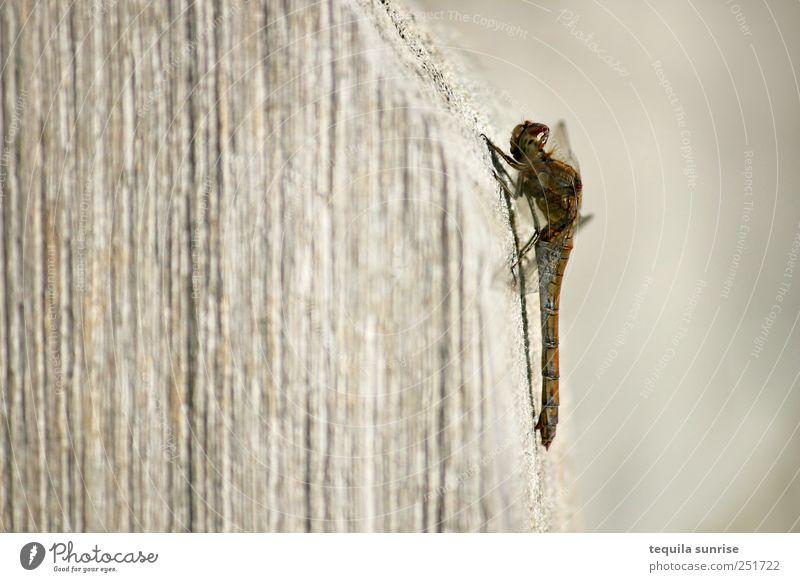 Libelle Natur Tier Wildtier Fliege Schmetterling Flügel Insekt 1 Holz braun gelb gold beige Farbfoto Gedeckte Farben Außenaufnahme Makroaufnahme