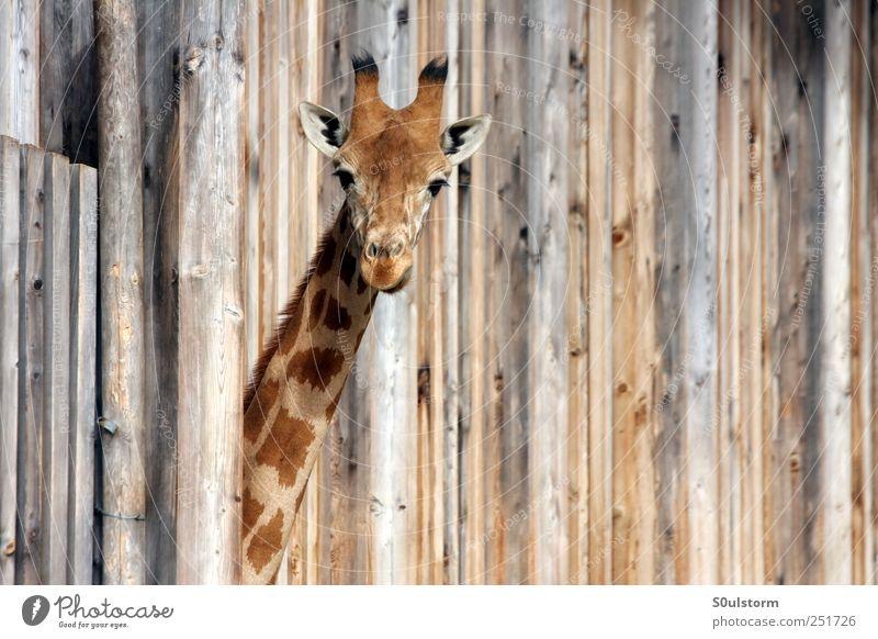 ? Tier Zoo Giraffe 1 Coolness Überraschung Fragen Fragezeichen Holz Holzwand niedlich Neugier Farbfoto Außenaufnahme Textfreiraum rechts Blick