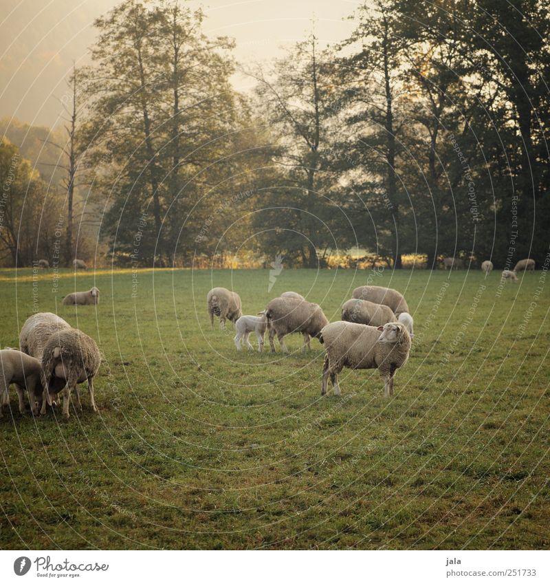 CHAMANSÜLZ | schäfchen auf der weide II Umwelt Natur Landschaft Pflanze Tier Himmel Herbst Baum Gras Sträucher Wiese Nutztier Schaf Tiergruppe Herde natürlich