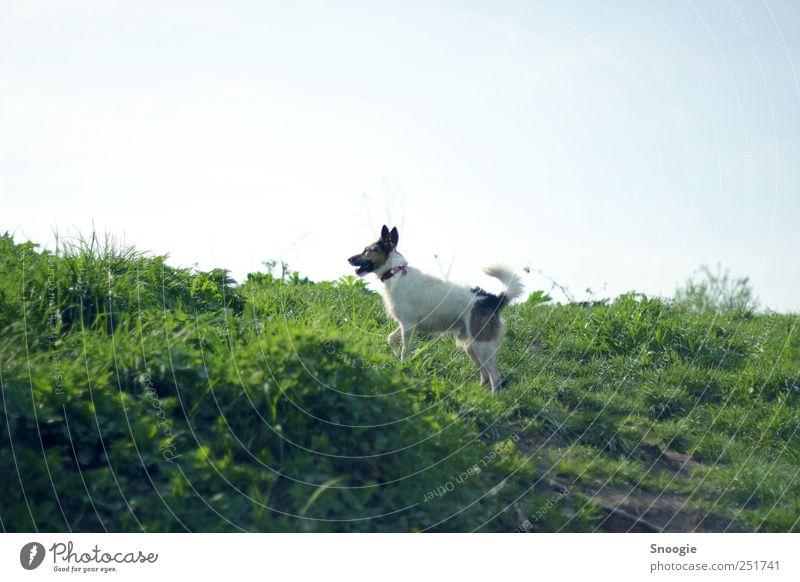 Komm spielen! Umwelt Natur Erde Himmel Wolkenloser Himmel Sonnenlicht Gras Wiese Hügel Tier Hund 1 Jagd Spielen grün Farbfoto Außenaufnahme Menschenleer