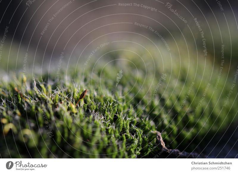 Moos Natur Pflanze Tier Herbst wild weich grün Farbfoto Außenaufnahme Dämmerung Unschärfe Schwache Tiefenschärfe