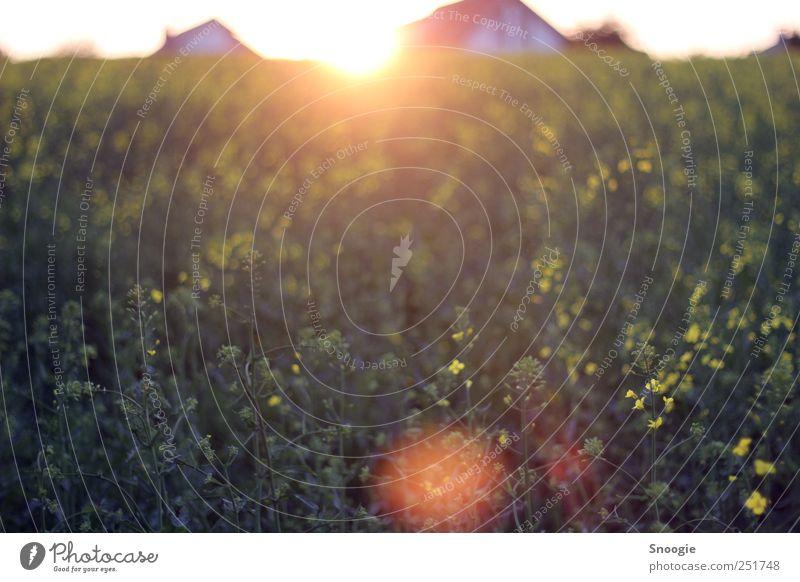 Sonnenspiegelung Natur grün Pflanze Sonne gelb Umwelt Frühling Feld authentisch Schönes Wetter Grünpflanze Wolkenloser Himmel Nutzpflanze