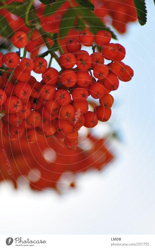 Vogel-Berries Natur Pflanze Herbst grün Beeren Vogelbeeren Ebereschenblätter rund Vogelbeerbaum Frucht orange Doldenblüte September Oktober Farbfoto