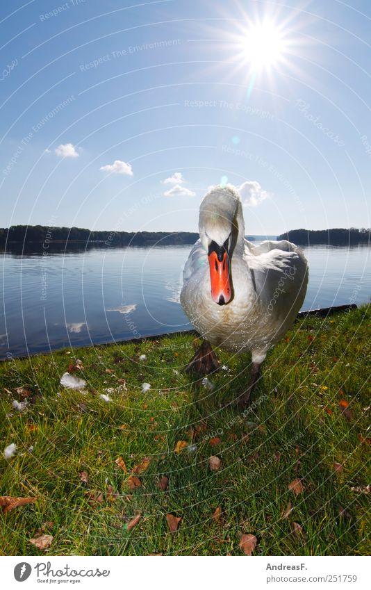 Mir schwant böses Ferien & Urlaub & Reisen Tourismus Ausflug Sommer Umwelt Natur Tier Himmel Sonne Herbst Gras Park Wiese Seeufer Schwan 1 bedrohlich blau Wut