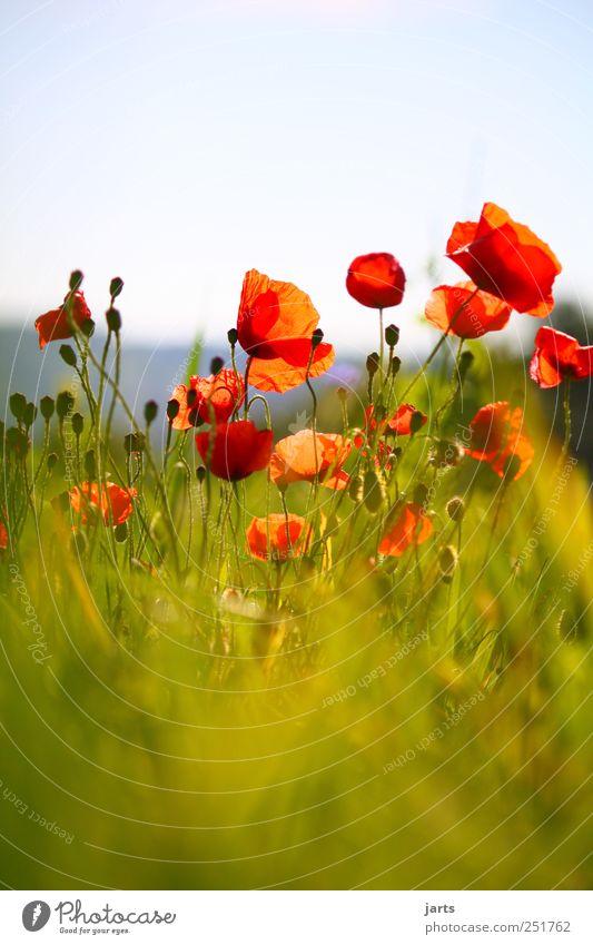 farbklecks Natur Pflanze rot Farbe Blüte Feld wild natürlich Mohn Wildpflanze