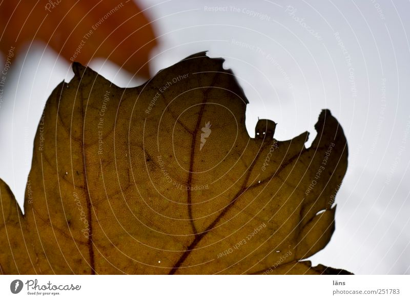 Batman vs. ... Natur Pflanze Blatt Herbst Umwelt braun kämpfen Willensstärke