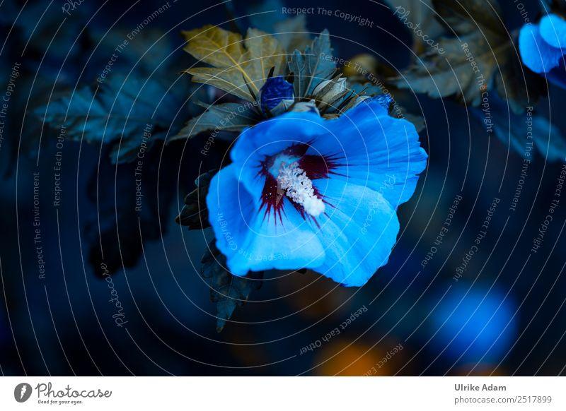 Blauer Hibiskus (Hibiscus) Natur Sommer Pflanze blau Blume ruhig dunkel Herbst Blüte Traurigkeit Garten Design Park Dekoration & Verzierung elegant Trauer