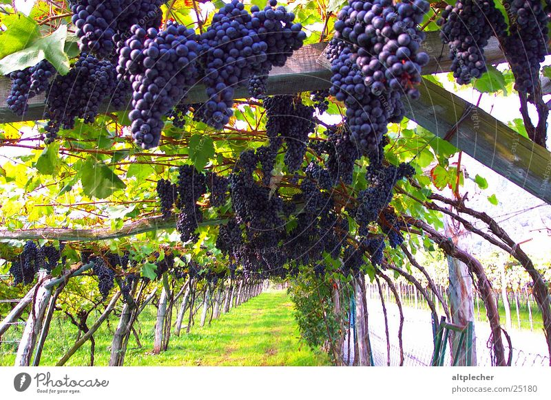 Weinbau Ernte Ackerbau Frucht Weintrauben Weinberg Landwirtschaft