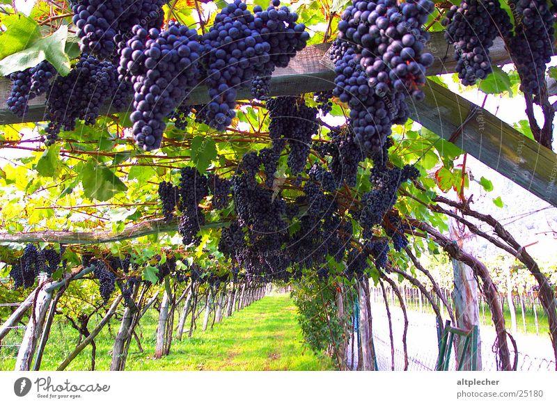 Weinbau Weintrauben Weinberg Ackerbau Ernte