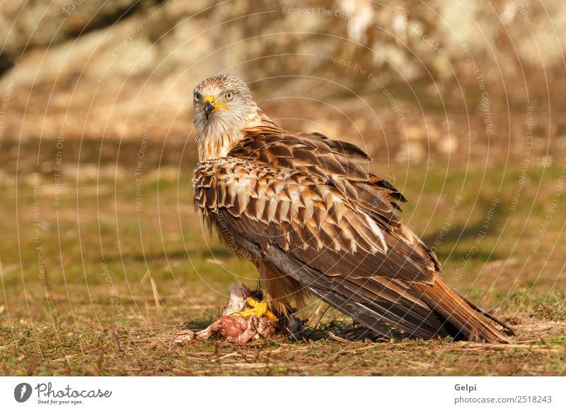 Fantastischer Vogel auf dem Feld mit einem schönen Gefieder. elegant Freiheit Natur Tier Gras Flügel niedlich wild grün weiß Feder Milan Schnabel sonnig Beute