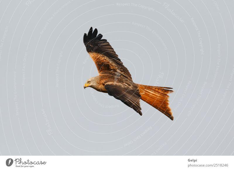 Fantastischer Raubvogel im Flug Natur Tier Himmel Vogel Flügel fliegen Geschwindigkeit wild blau gold weiß Tierwelt Raptor Raubtier Milan Etage sonnig Feder